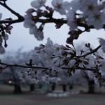 光が丘公園 ★桜