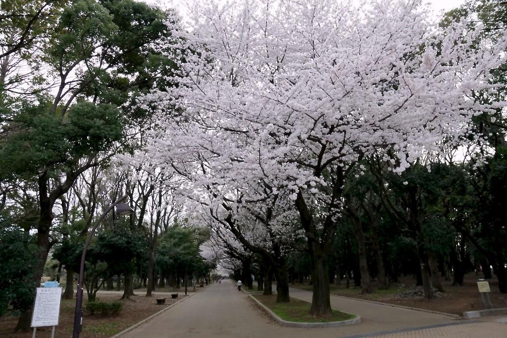 光が丘公園_桜-1024x683