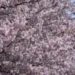 蘆花公園/蘆花恒春園 ★桜