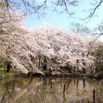 善福寺公園★桜