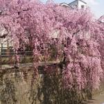 妙正寺川 ★桜