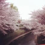 石神井公園 ★桜