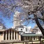 自由学園「明日館」★桜