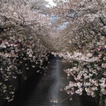 目黒川★桜